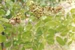 Julbernardia paniculata