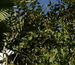 Pergularia daemia subsp. barbata