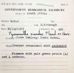 Pyrenacantha scandens
