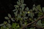Monanthotaxis trichocarpa