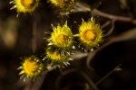 Helichrysum brassii