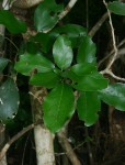 Cola mossambicensis