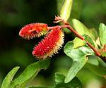 Clappertonia ficifolia