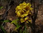 Acridocarpus natalitius var. linearifolius