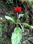 Streptocarpus myoporoides