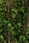 Rytigynia adenodonta var. reticulata
