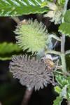 Corchorus junodii