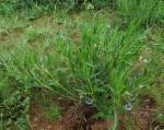 Trichodesma angustifolium