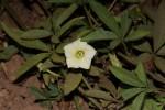 Merremia quinquefolia