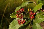 Psychotria eminiana var. eminiana