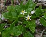 Solanum litoraneum