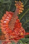 Encephalartos ferox subsp. ferox