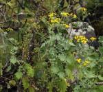 Cineraria pulchra