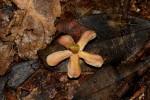 Pleioceras orientale