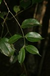 Strychnos xantha