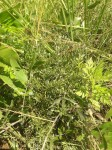 Vernonia stenocephala