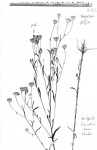 Vernonia jelfiae var. jelfiae