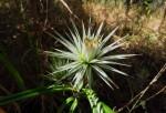 Macledium sessiliflorum