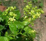 Jatropha scaposa