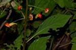 Impatiens gomphophylla