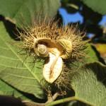 Buchnerodendron lasiocalyx