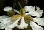 Oncoba welwitschii