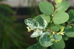 Breynia disticha var. disticha