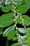 Bridelia cathartica subsp. cathartica
