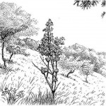 Rothmannia engleriana