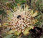 Protea caffra subsp. caffra