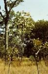 Protea rupestris
