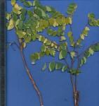 Synaptolepis oliveriana