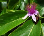 Grewia glandulosa