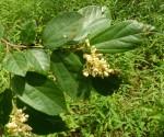 Grewia conocarpa