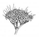 Pavetta crassipes