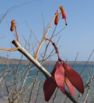 Hildegardia migeodii