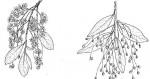 Phyllocosmus lemaireanus