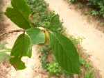 Dichapetalum macrocarpum