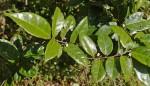 Dichapetalum barbosae