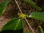 Salacia madagascariensis