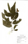 Lasiodiscus pervillei subsp. pervillei