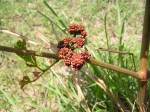 Ampelocissus obtusata subsp. obtusata