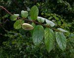 Combretum pisoniiflorum