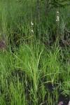 Chlorophytum pubiflorum
