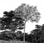 Brachystegia floribunda