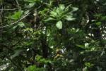 Barringtonia racemosa