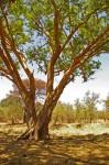 Acacia sieberiana var. sieberiana