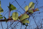 Rubus ellipticus