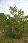 Ateleia herbert-smithii