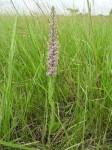Brachycorythis pubescens